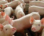 Abate de suínos cresce e bate recorde no terceiro trimestre