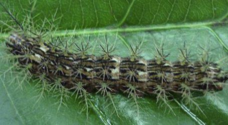 Contato de lagarta venenosa com criança preocupa paraminenses e biólogo dá dicas sobre como agir nesses casos
